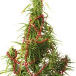 British police discovered a marijuana plant disguised as a Christmas tree