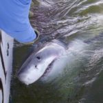 South Carolina Fisherman Hooks 17-Foot Great White Shark: It Was A 'monster'