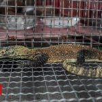 Indonesia foils Komodo dragon smuggling gang