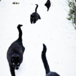 It is almost impossible to herd cats, thanks to evolution