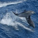 Trained Dolphins Recruited To Locate, Save Elusive Porpoise From Extinction