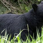 Alaska teen chased and killed by bear during running race – BBC News