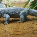 Man, 50, Savaged by Komodo Dragon While Taking Photographs
