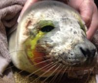 Baby Seal Dies After Being 'harassed Back Into Sea' By Humans